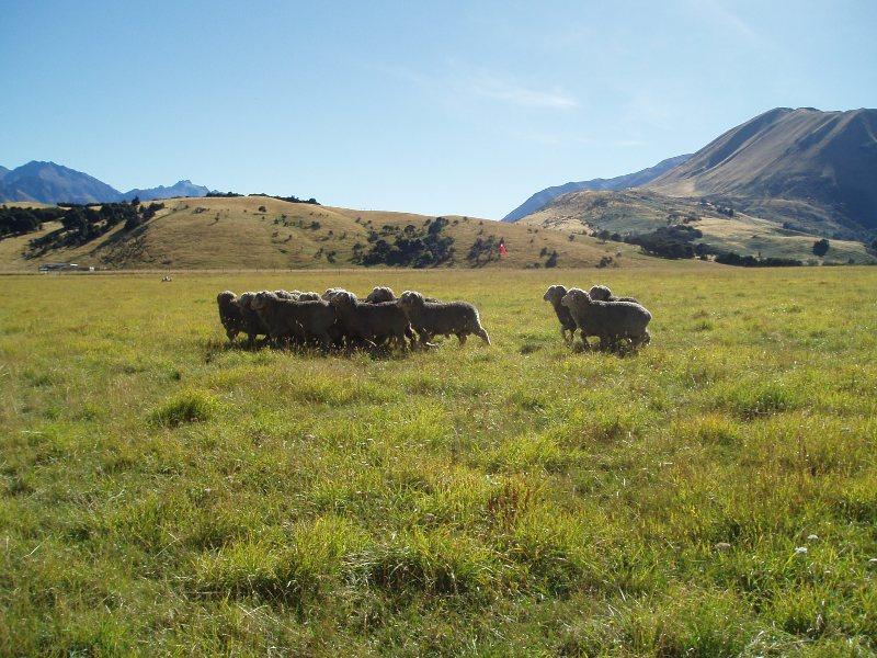 Dingleburn sheep