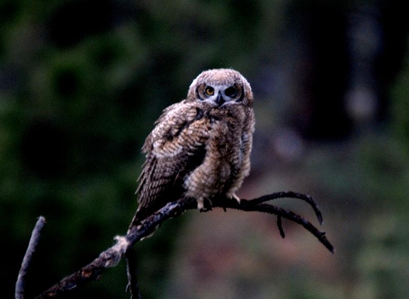 Owl_0770