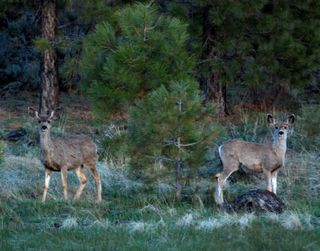Mule Deer_0186
