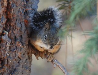 Squirrel2 8338