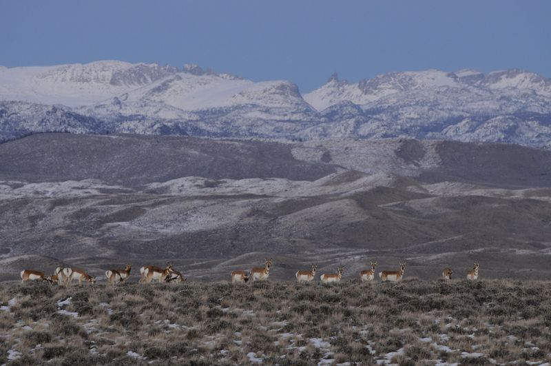 Pronghorn in winter range