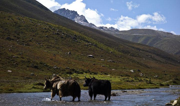 11-720-yaks