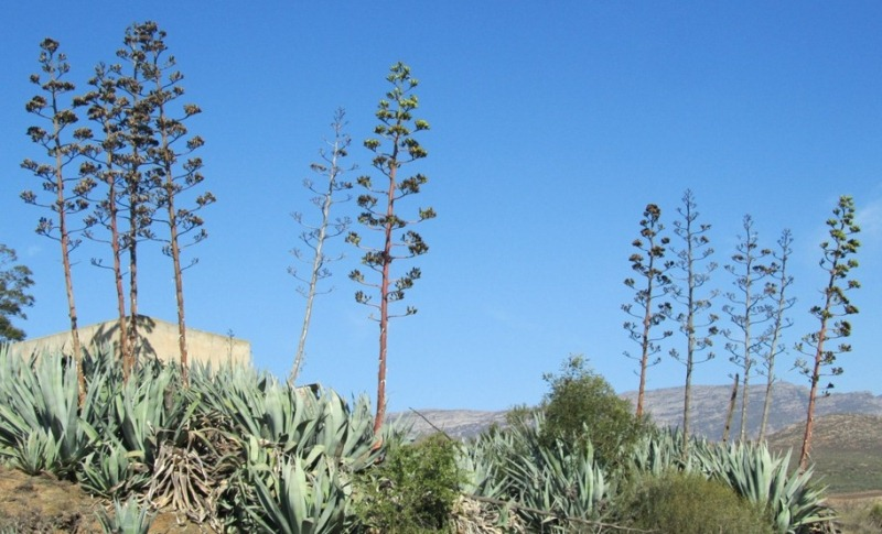 Wild_agave_2